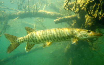 Understanding Muskies' Fall Movements